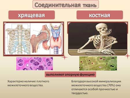 Опорная ткань человека