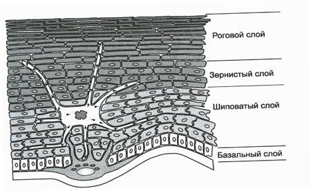 слои эпидермиса кожи