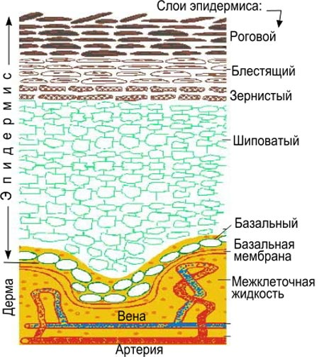 роговой базальный зернистый шиповатый