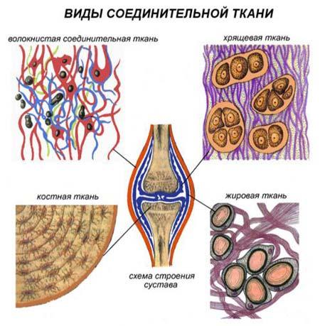 ткань как опора организма