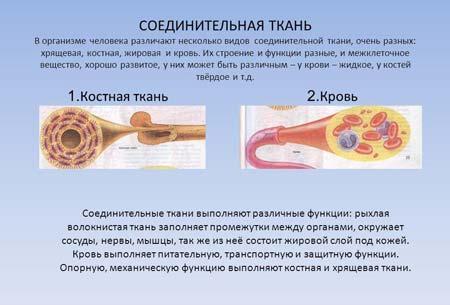 функции соединительной ткани человека