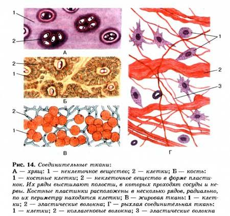 строение соединительной ткани человека